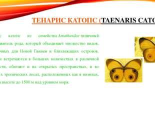 ТЕНАРИС КАТОПС (TAENARIS CATOPS) Тенарис катопс из семействаAmathusdaeтипич