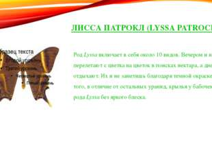 ЛИССА ПАТРОКЛ (LYSSA PATROCLUS) РодLyssaвключает в себя около 10 видов. Веч