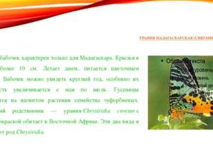 УРАНИЯ МАДАГАСКАРСКАЯ (CHRYSIRIDIA RIPHAEUS) Этот вид бабочек характерен толь