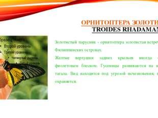 ОРНИТОПТЕРА ЗОЛОТИСТАЯ (TROIDES RHADAMANTHUS) Золотистый парусник - орнитопте