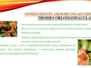 ОРНИТОПТЕРА ОБЛОНГОМАКУЛЯТУС (TROIDES OBLONGOMACULATUS) Этот вид встречается