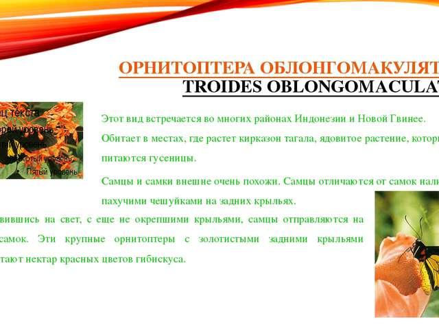 ОРНИТОПТЕРА ОБЛОНГОМАКУЛЯТУС (TROIDES OBLONGOMACULATUS) Этот вид встречается...