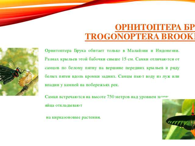 ОРНИТОПТЕРА БРУКА (TROGONOPTERA BROOKIANA) Орнитоптера Брука обитает только в...