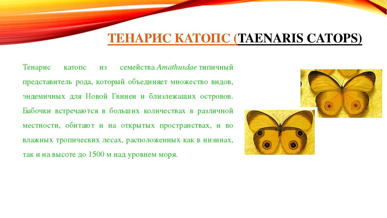 ТЕНАРИС КАТОПС (TAENARIS CATOPS) Тенарис катопс из семействаAmathusdaeтипич...