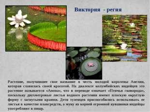 Виктория - регия Растение, получившее свое название в честь молодой королевы