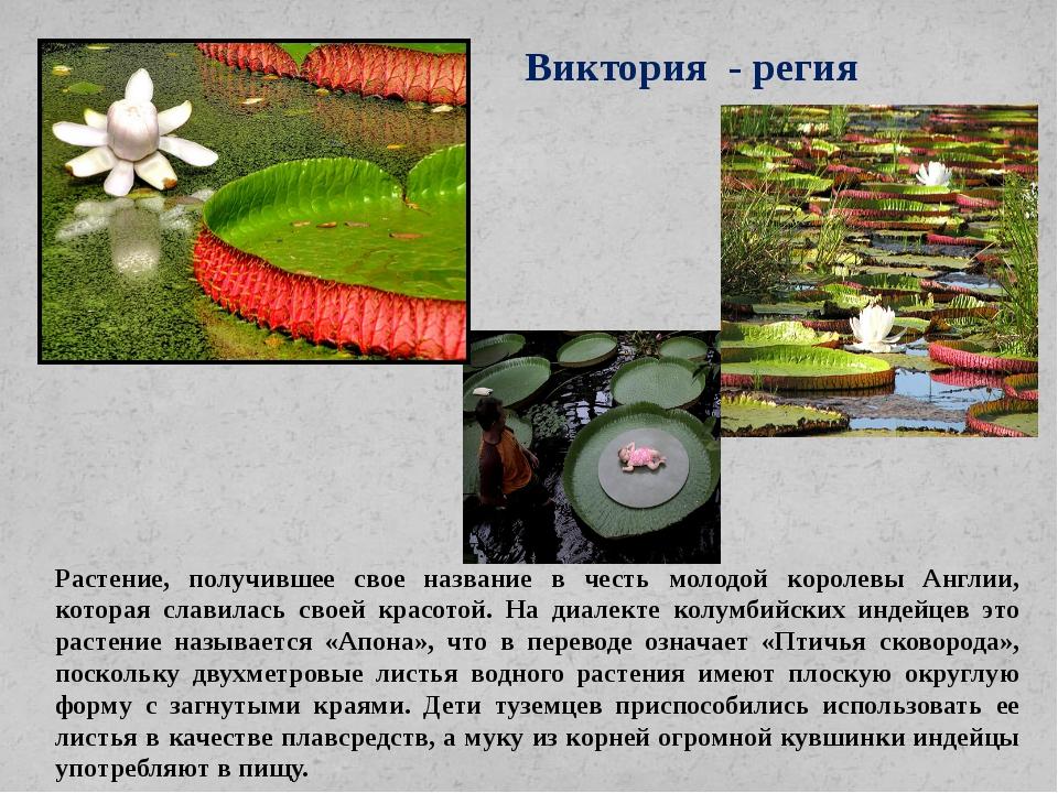 Виктория - регия Растение, получившее свое название в честь молодой королевы...