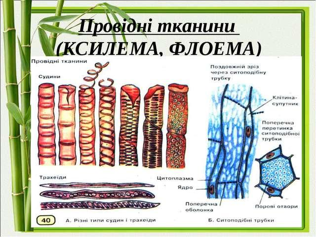Провідні тканини (КСИЛЕМА, ФЛОЕМА)