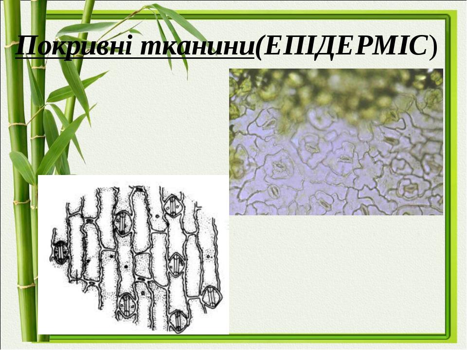 Покривні тканини(ЕПІДЕРМІС)