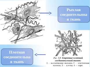 Рыхлая соедиительнная ткань Плотная соединительная ткань