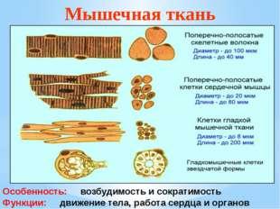 Мышечная ткань Особенность: возбудимость и сократимость Функции: движение тел