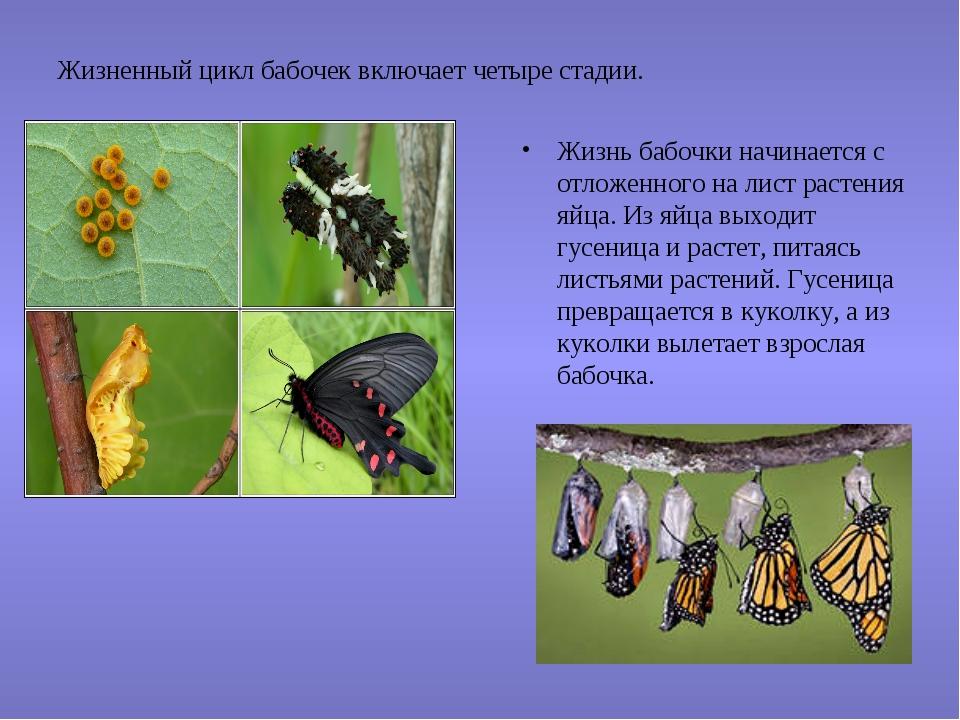 Жизненный цикл бабочек включает четыре стадии. Жизнь бабочки начинается с отл...