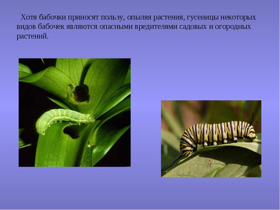 Хотя бабочки приносят пользу, опыляя растения, гусеницы некоторых видов бабо...