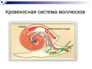 Кровеносная система моллюсков сердце Кровеносные сосуды