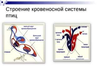 Строение кровеносной системы птиц