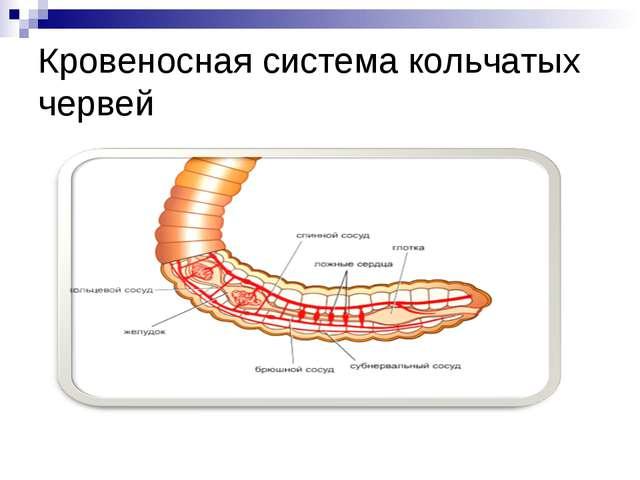 Кровеносная система кольчатых червей