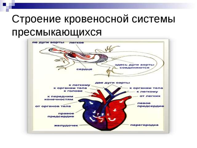 Строение кровеносной системы пресмыкающихся