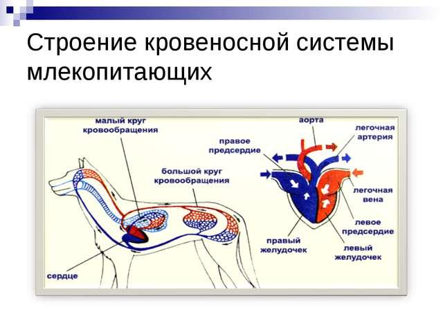 Строение кровеносной системы млекопитающих