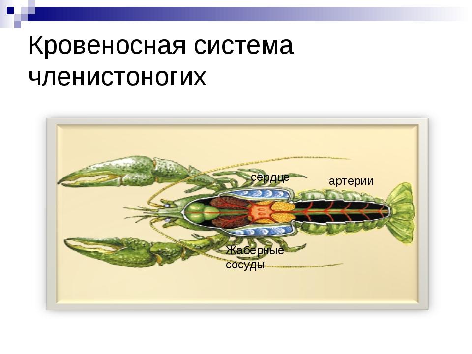Кровеносная система членистоногих сердце артерии Жаберные сосуды