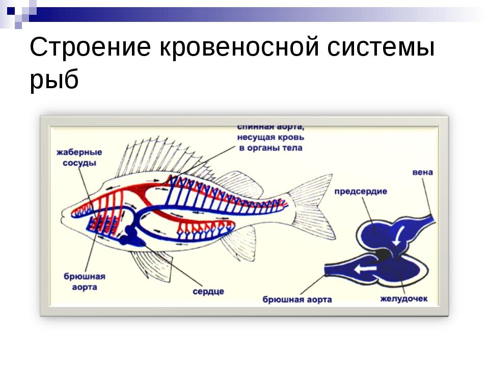 Строение кровеносной системы рыб