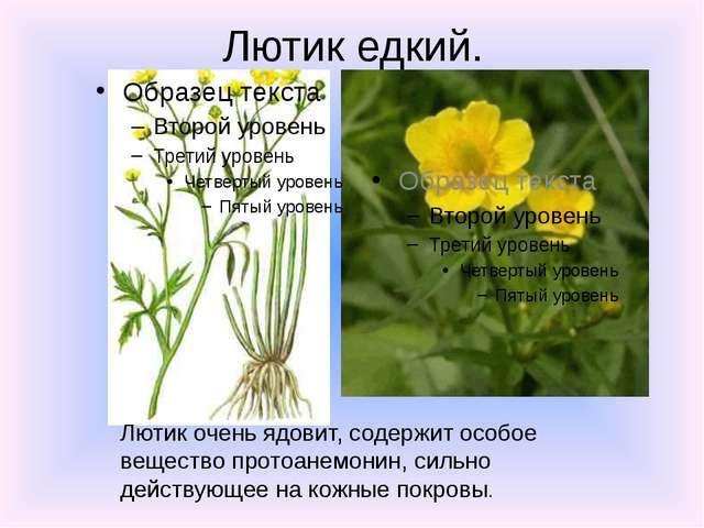 Лютик едкий. Лютик очень ядовит, содержит особое вещество протоанемонин, силь...