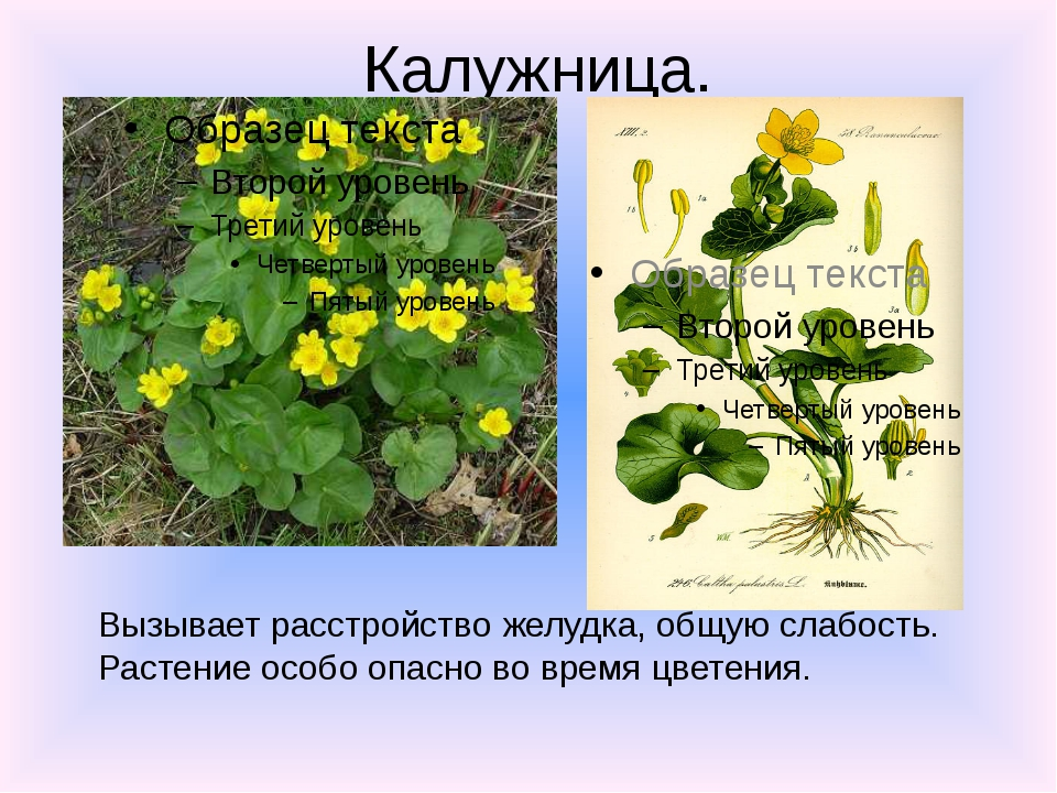 Калужница. Вызывает расстройство желудка, общую слабость. Растение особо опас...