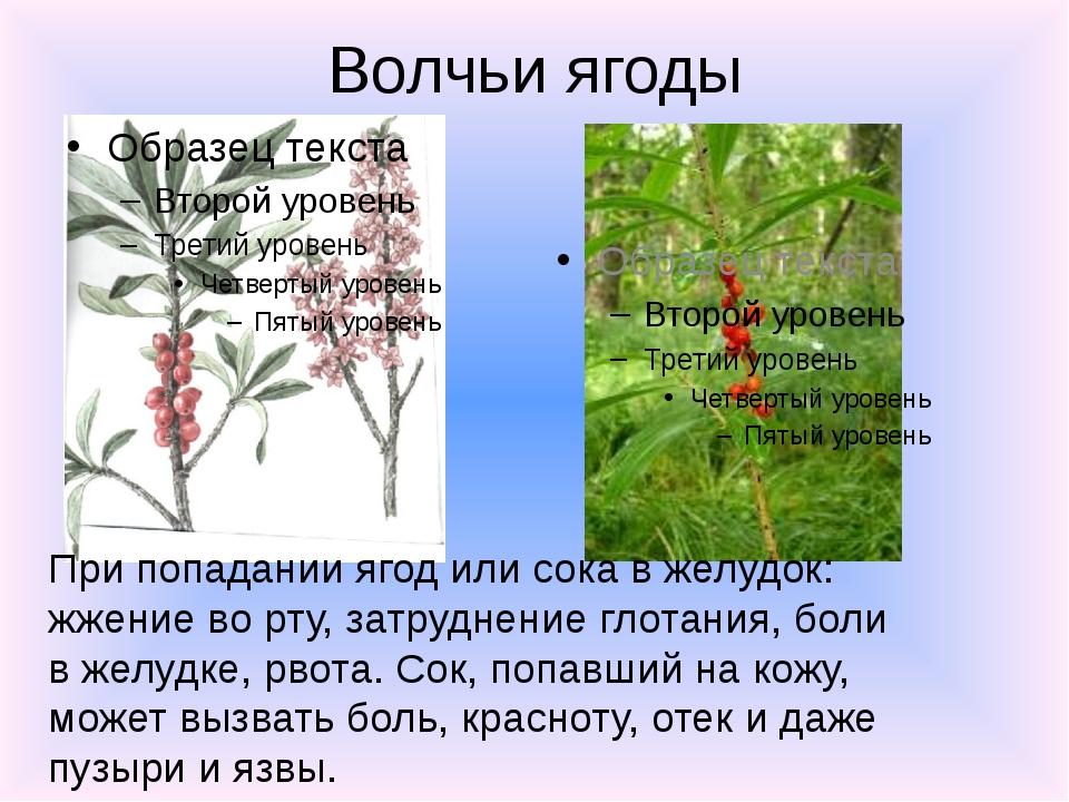 Волчьи ягоды При попадании ягод или сока в желудок: жжение во рту, затруднени...