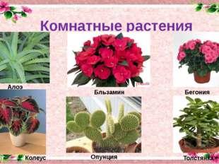 Комнатные растения Бльзамин Алоэ Бегония Колеус Опунция Толстянка