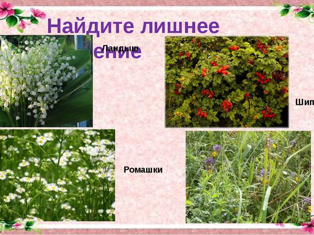 Найдите лишнее растение Ландыш Шиповник Ромашки Целебные травы