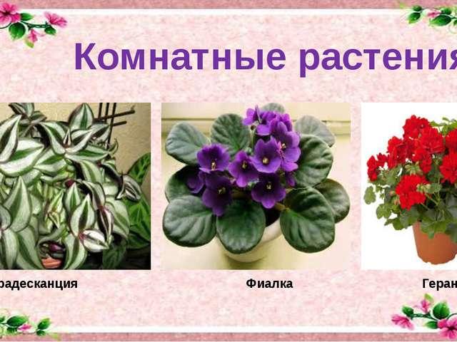 Комнатные растения Традесканция Фиалка Герань