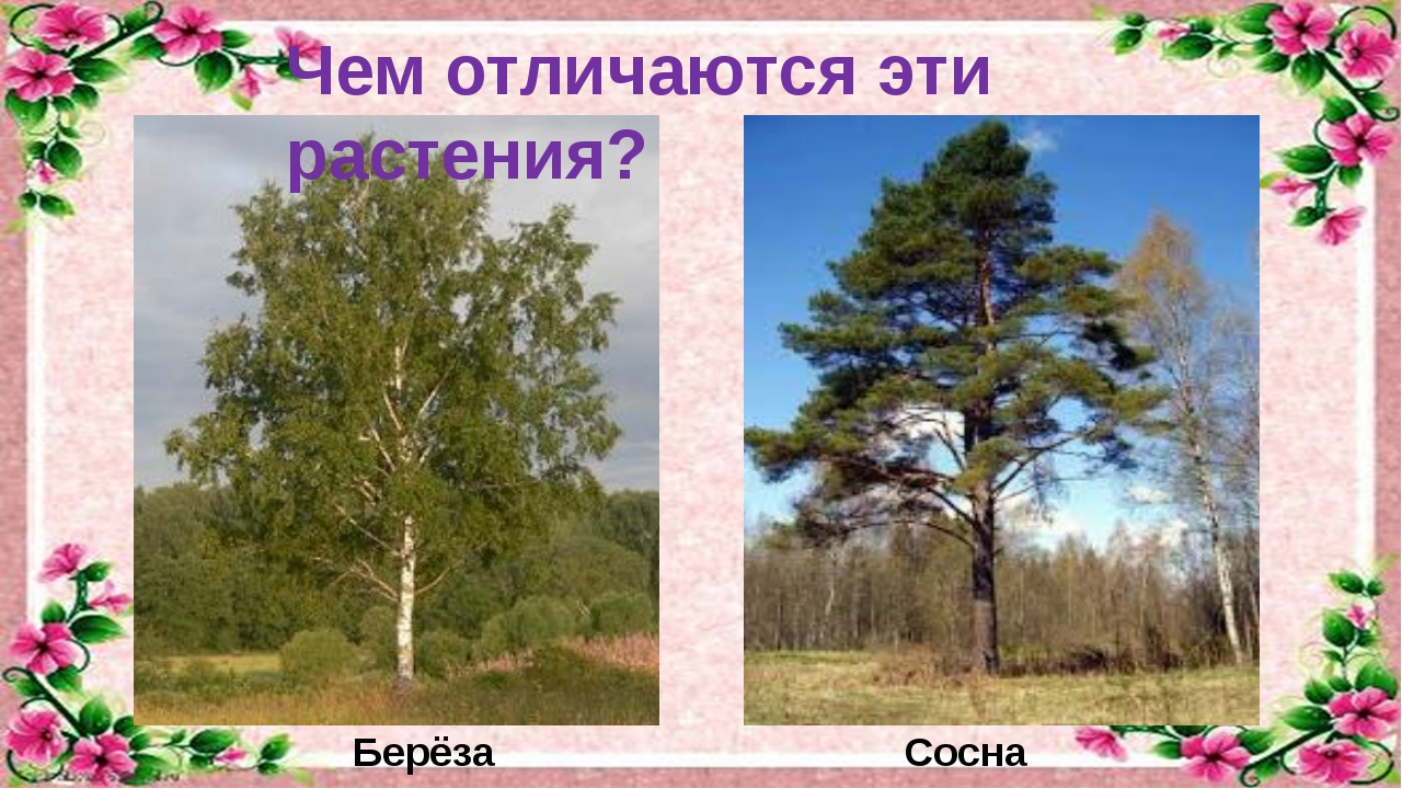 Чем отличаются эти растения? Берёза Сосна
