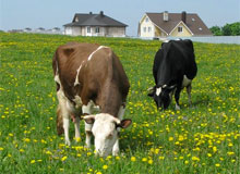 Животноводство в Гоа. Фермерское хозяйство - коровы и быки. Домашние животные коровы и волы. Индия.(copyright) potomy.ru