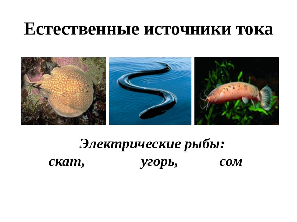 Естественные источники тока Электрические рыбы: скат, угорь, сом
