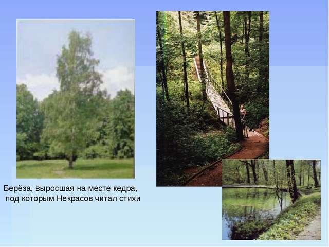 Берёза, выросшая на месте кедра, под которым Некрасов читал стихи