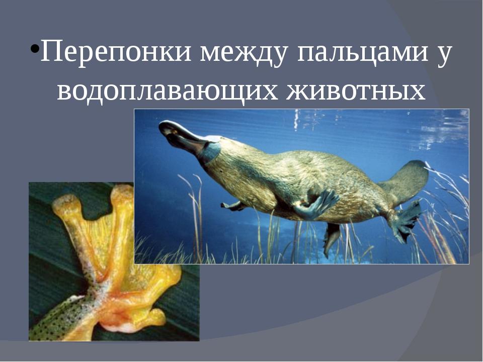 Перепонки между пальцами у водоплавающих животных