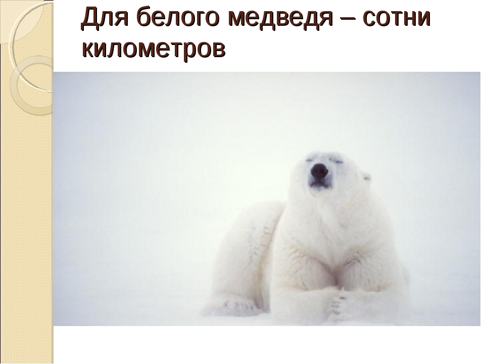 Для белого медведя – сотни километров