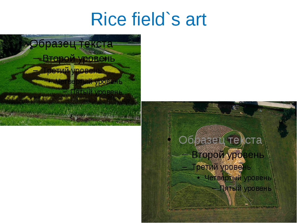 Rice field`s art
