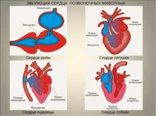 ЭВОЛЮЦИЯ СЕРДЦА ПОЗВОНОЧНЫХ ЖИВОТНЫХ Сердце рыбы Сердце лягушки Сердце ящериц
