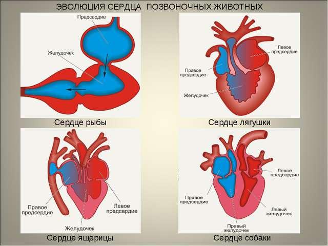 ЭВОЛЮЦИЯ СЕРДЦА ПОЗВОНОЧНЫХ ЖИВОТНЫХ Сердце рыбы Сердце лягушки Сердце ящериц...
