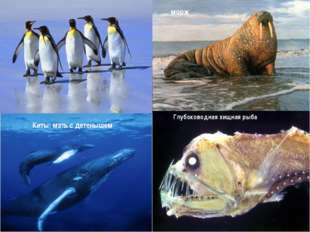 Глубоководная хищная рыба Киты: мать с детенышем морж