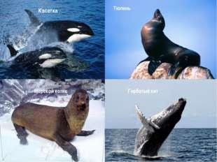 Горбатый кит Касатка Тюлень Морской котик