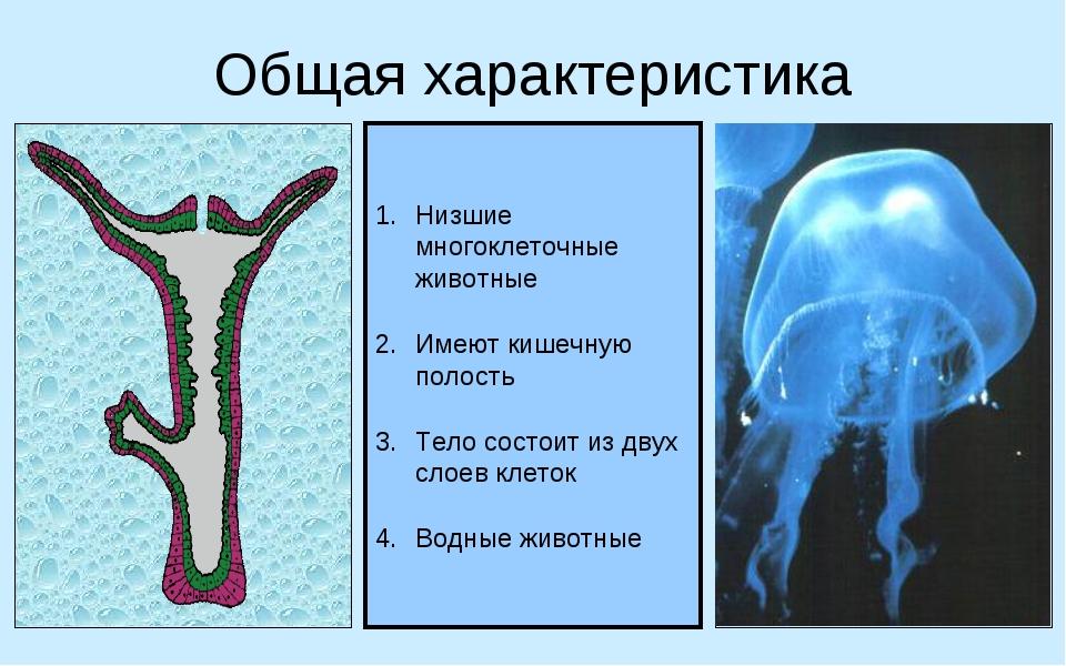 Общая характеристика Низшие многоклеточные животные Имеют кишечную полость Те...