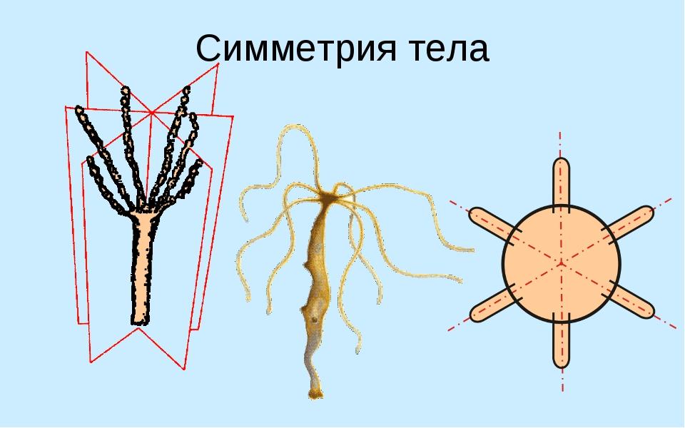 Симметрия тела