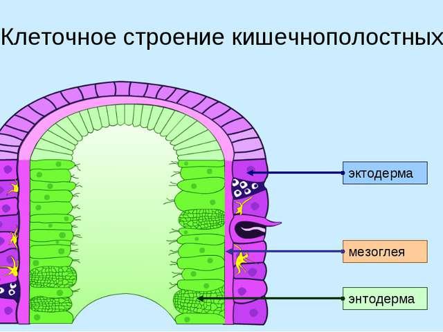 Клеточное строение кишечнополостных