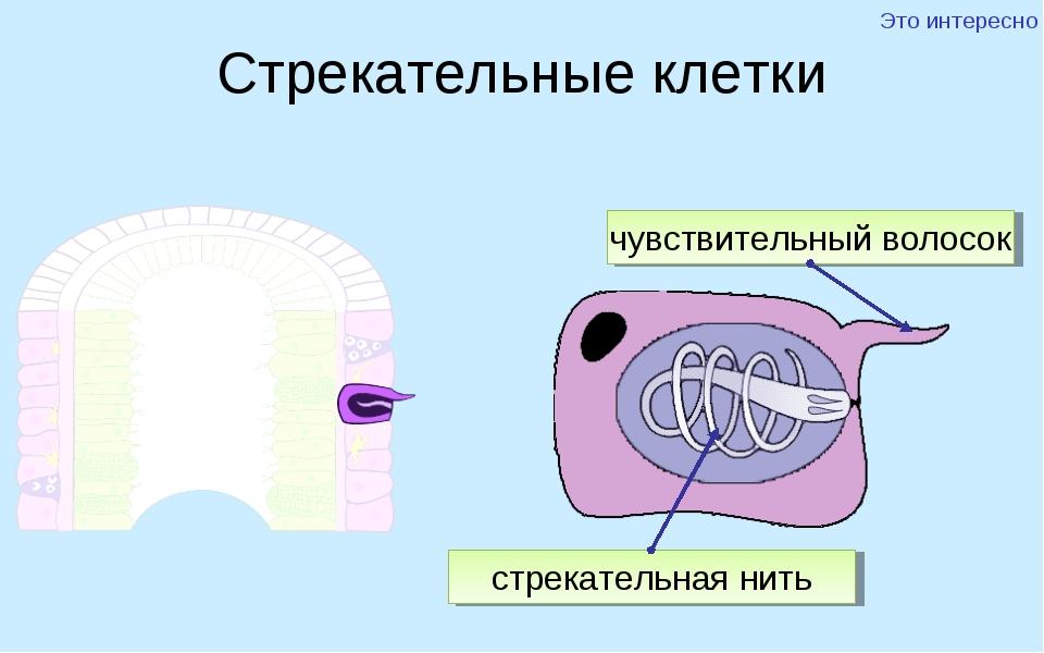 Стрекательные клетки чувствительный волосок стрекательная нить Это интересно