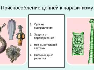 Приспособление цепней к паразитизму Органы прикрепления Защита от перевариван