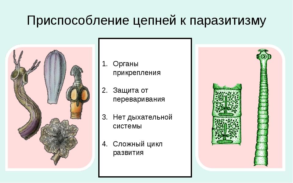Приспособление цепней к паразитизму Органы прикрепления Защита от перевариван...