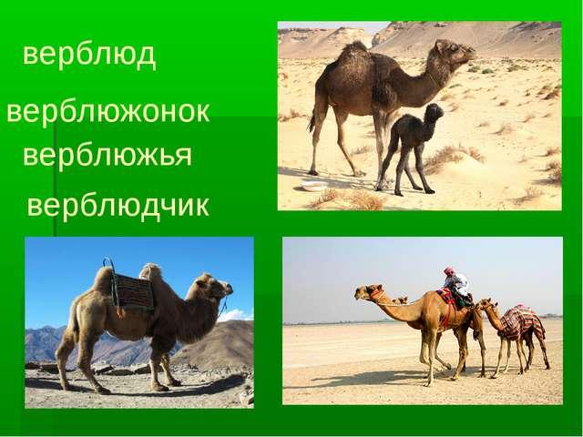 верблюд верблюжонок верблюжья верблюдчик