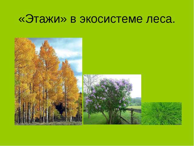 «Этажи» в экосистеме леса.