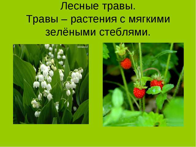 Лесные травы. Травы – растения с мягкими зелёными стеблями.