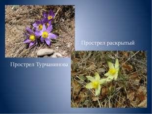 Прострел Турчанинова Прострел раскрытый